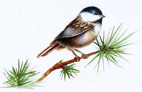 Watercolour painting of a chickadee by artist Ann Hamilton of Acton, Ontario